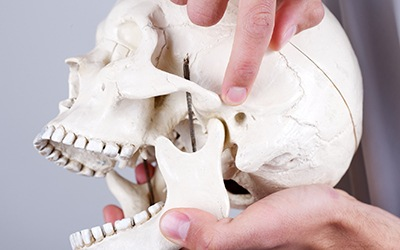 Model of jaw and skull bone connection